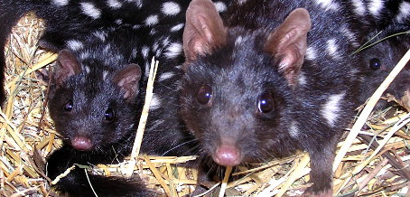 Quoll Live Streaming Commences