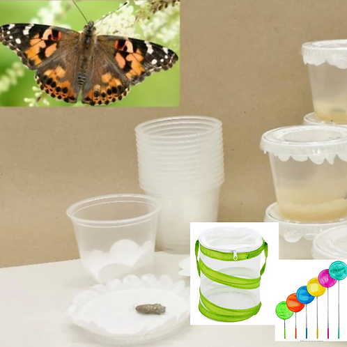 {PREORDER} Live Caterpillar to Butterfly Kit