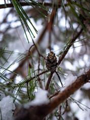 Pine Cone in Winter