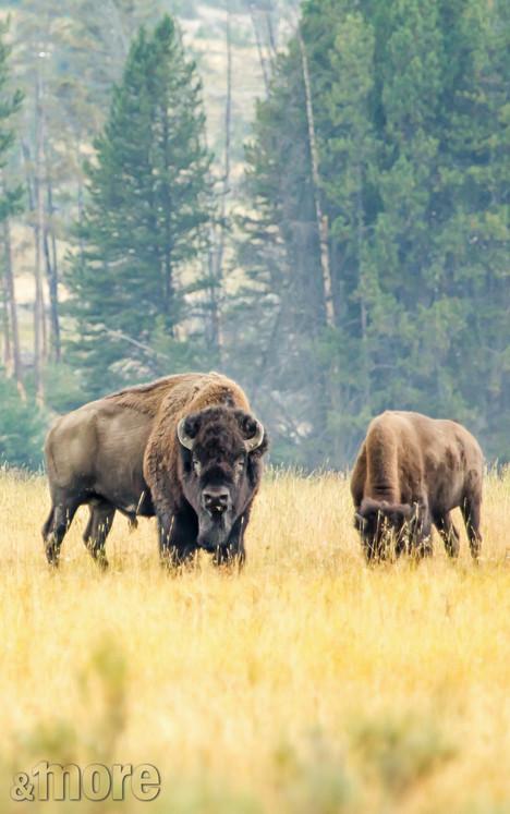 Wildlife_Bison1_V.jpg