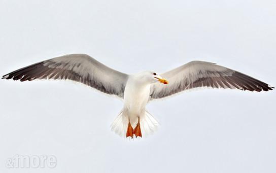 Bird_Seagull_H.jpg