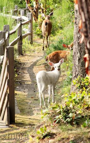 Albino Deer