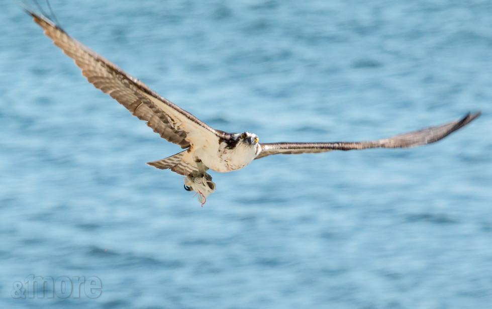 Bird_Osprey1_H.jpg