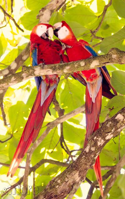 Bird_Macaws_V.jpg