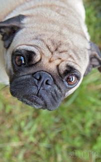 Pets_Pug_V.jpg