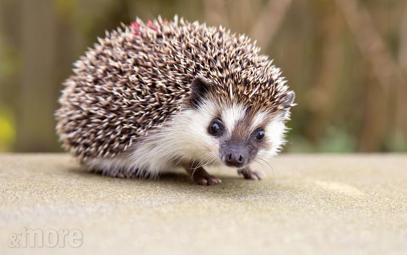 Pets_Hedgehog1_H.jpg