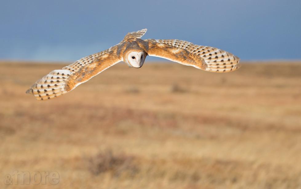 Bird_BarnOwlFlying1_H.jpg