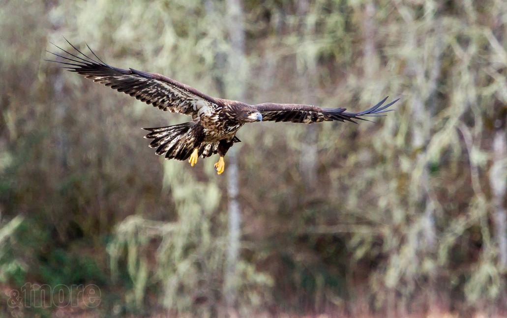 Bird_FlyingJuvenile_H.jpg