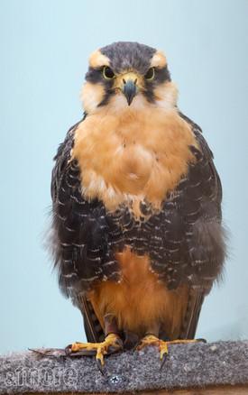 Bird_Hawk_V.jpg