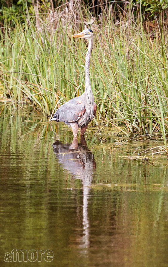 Bird_Heron1_V.jpg