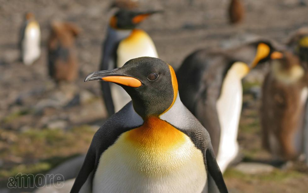 Bird_Penguin_H.jpg