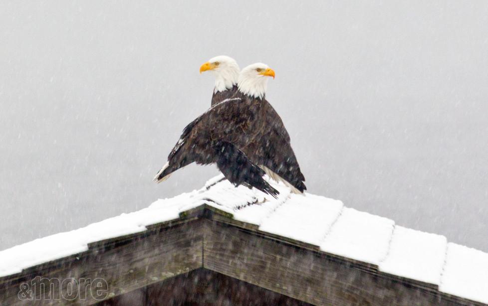 Bird_SnowEagles_H.jpg