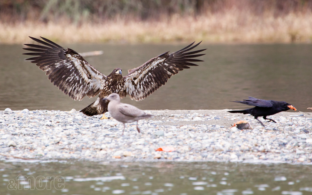 Bird_EagleCrow_H.jpg