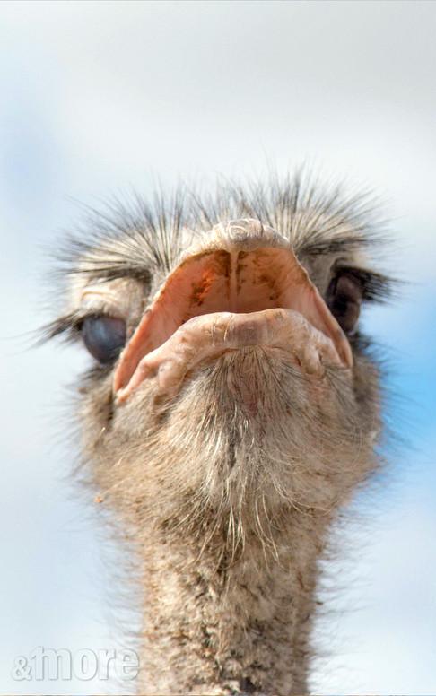Bird_Ostrich1_V.jpg