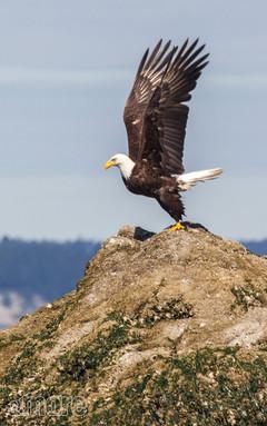 Bird_Eagle_V.jpg