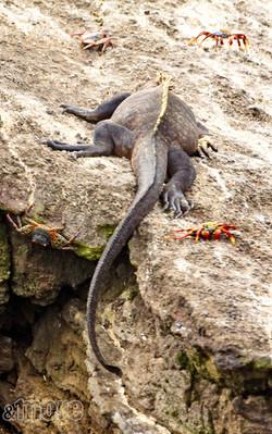 Iguana & crabs