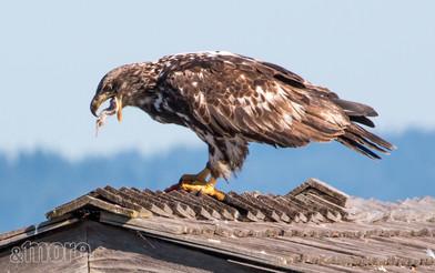 Bird_EatingJuvenile_H.jpg