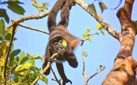 Swinging Howler Monkey