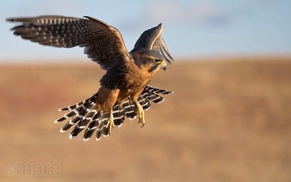 Bird_AplomadoHawk_H.jpg