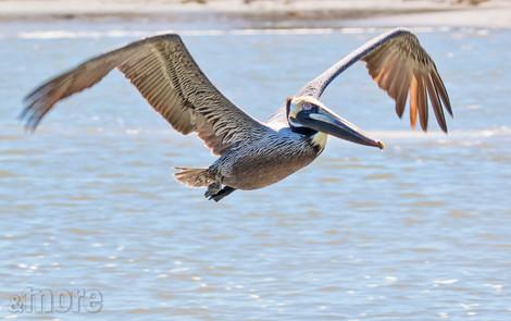 Bird_FlyingPelican_H.jpg