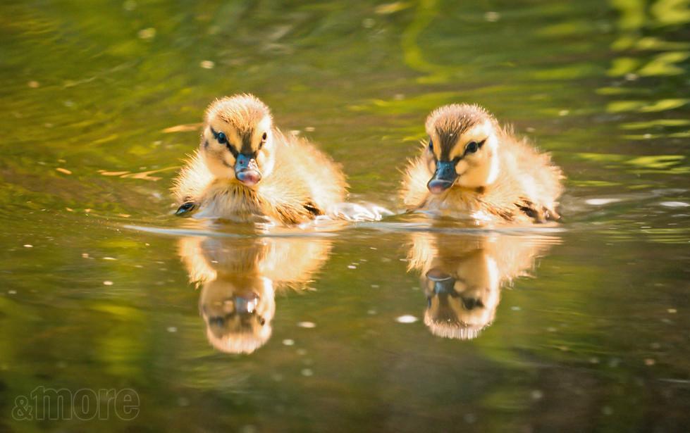 Birds_Ducklings_H.jpg