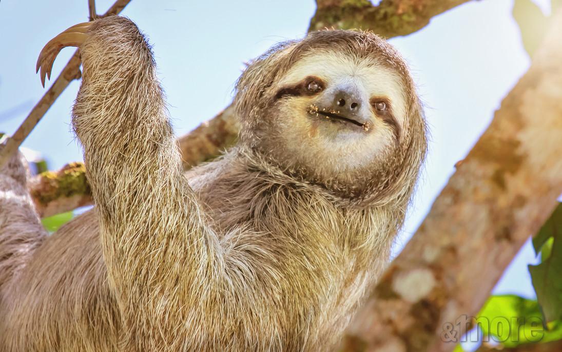 Smiling Sloth