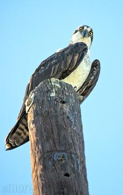 Bird_OspreyCabo_V.jpg