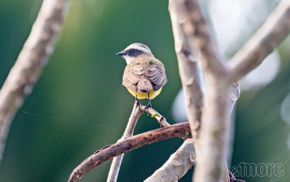 Bird_SocialFlycatcher_H.jpg