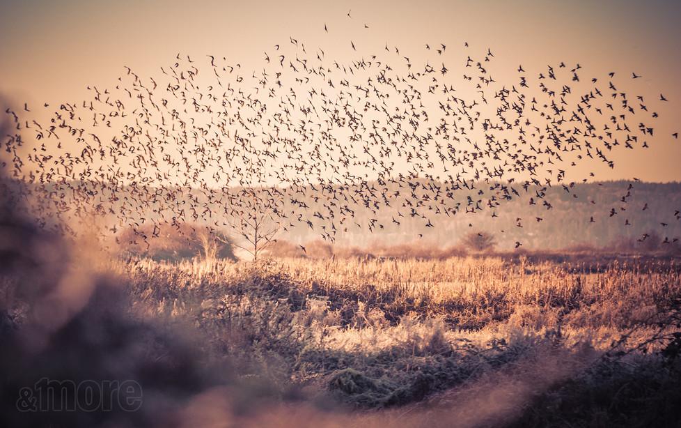 Bird_SparrowFlock_H.jpg
