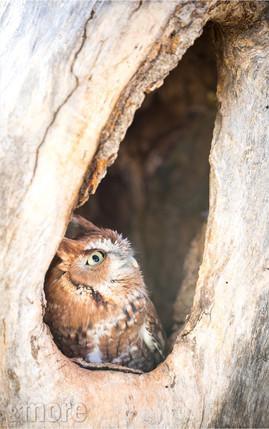 Bird_ScreecherOwl_V.jpg