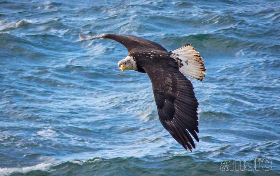 Bird_FlyingBaldEagle_H.jpg
