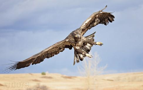 Bird_GoldenEagleFlying_H.jpg