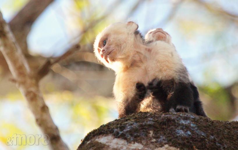 Capuchin Monkey and Baby