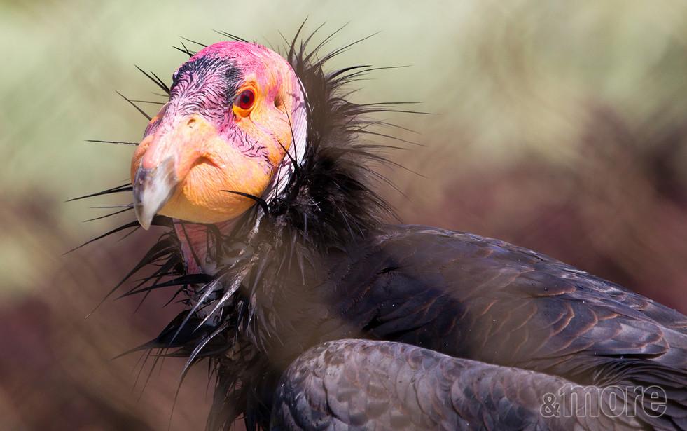 Bird_Condor_H.jpg