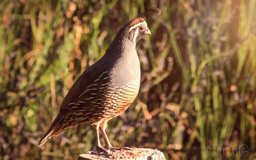 Bird_Quail_H.jpg