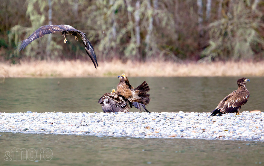 Bird_FightingEagles_H.jpg