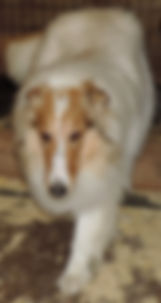 Stirlingcollies - White, w/sable merle mkgs AKC Collie