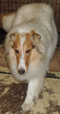 Stirling Collie
