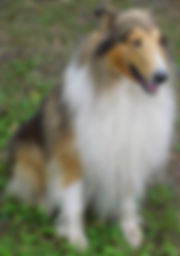 StirlingCollies - SableMerle/White
