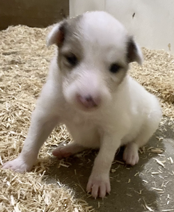 3-White, w/Sable Merle Mkgs Female