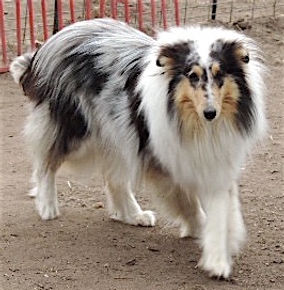 AKC Collie