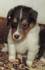 4-RARE Blue Merle Female -rough