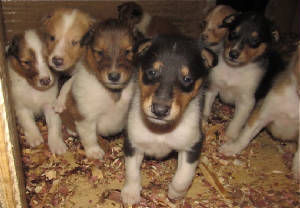 Stirlingcollies - AKC Collie puppies