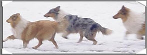 StirlingCollies prancing in the Snow