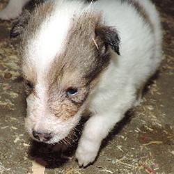 1-White, w/Sable Mkgs Female