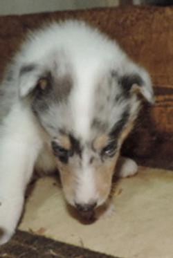 2-Blue Merle/White Female