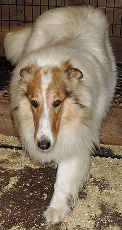 Stirlingcollies - White, w/sable merle collie