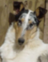 Stirlingcollies - blue merle collie
