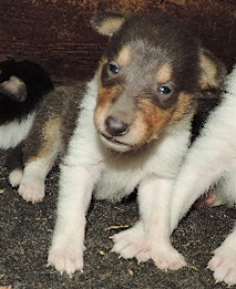 3-RARE Blue Merle Female -smooth