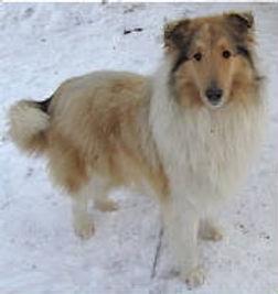 AKC Lassie Collie